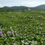 A problemática das macrófitas nas usinas hidrelétricas